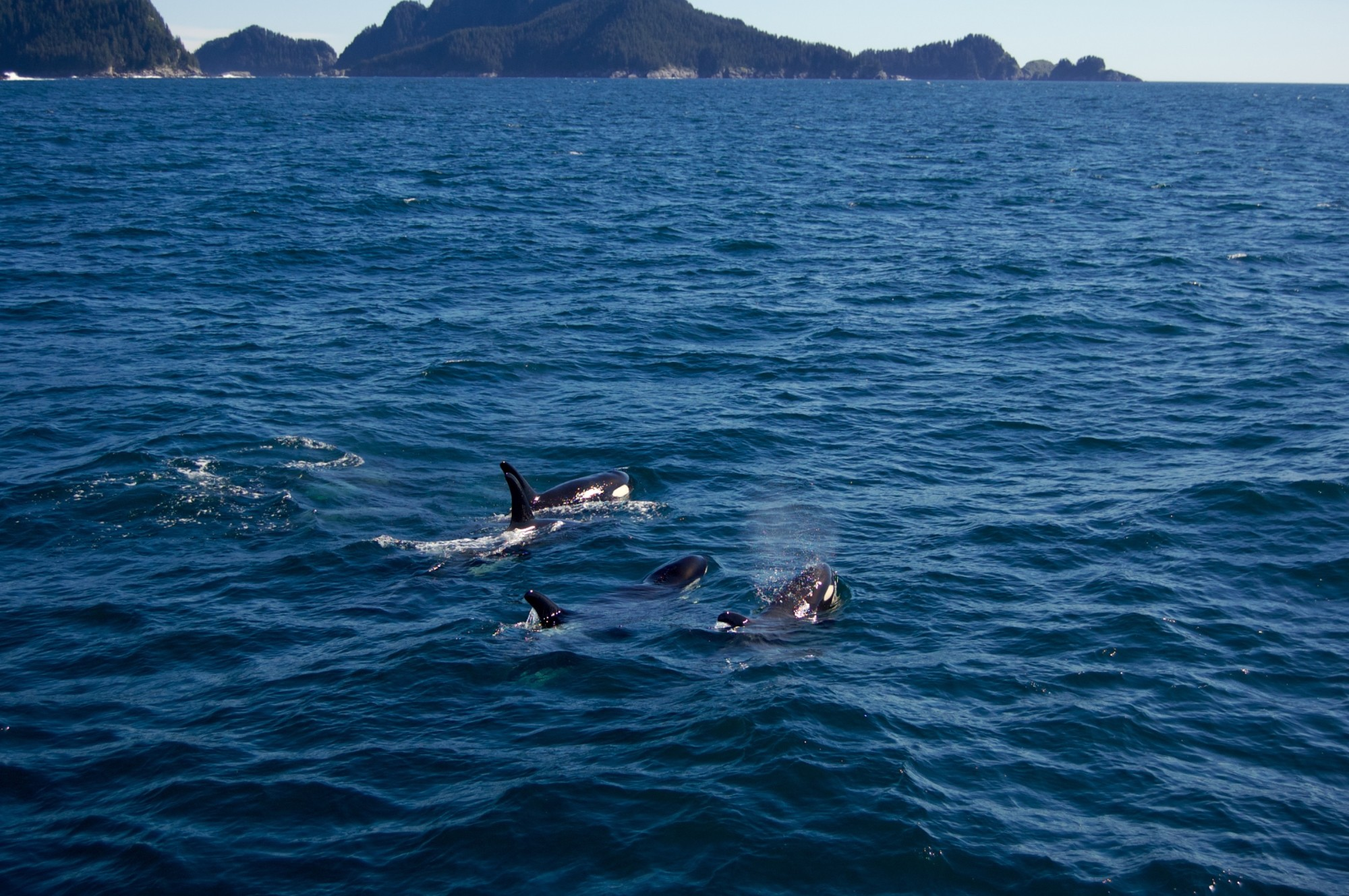 Pod of orcas on Kenai Fjord Tour